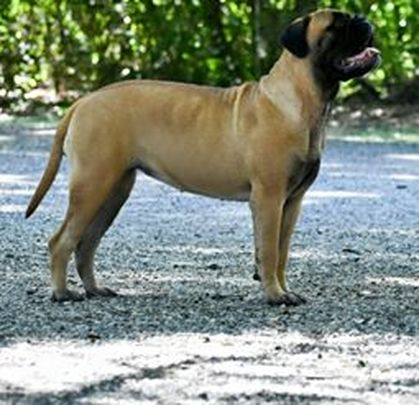 Jenkins Family Bullmastiffs Jenkins Family Bullmastiffs Home Page